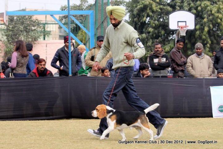beagle,ex-34,sw-77,, Gurgaon Dog Show 2012, DogSpot.in