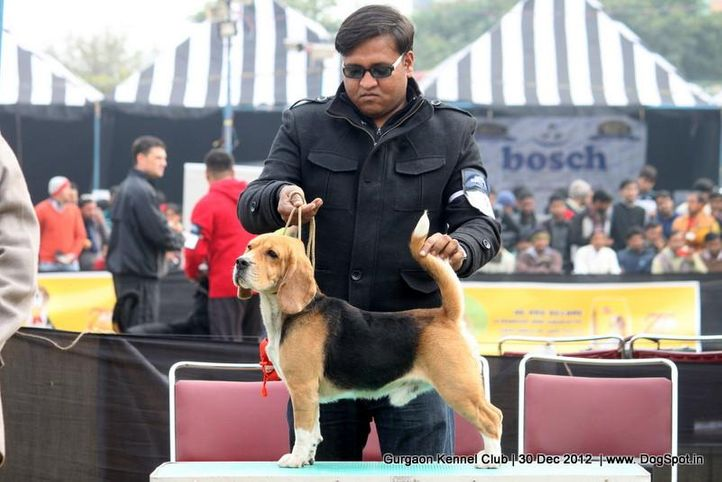 beagle,ex-35,sw-77,, Gurgaon Dog Show 2012, DogSpot.in