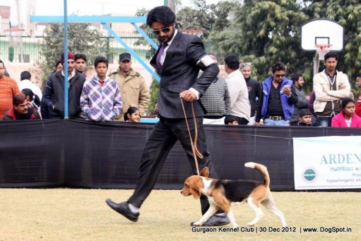 beagle,ex-38,sw-77,, Gurgaon Dog Show 2012, DogSpot.in