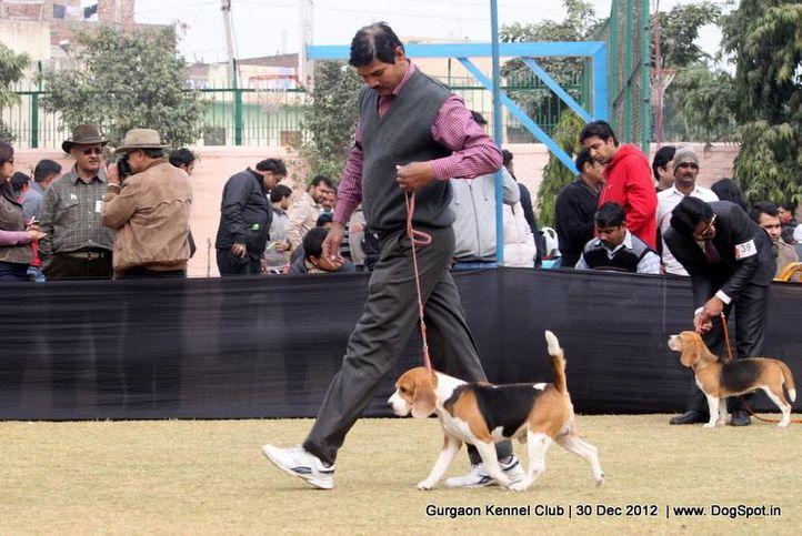 beagle,ex-49,sw-77,, Gurgaon Dog Show 2012, DogSpot.in