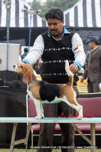 beagle,sw-77,, Gurgaon Dog Show 2012, DogSpot.in