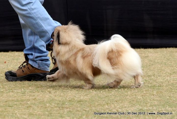 ex-5,pekingese,sw-77,, Gurgaon Dog Show 2012, DogSpot.in