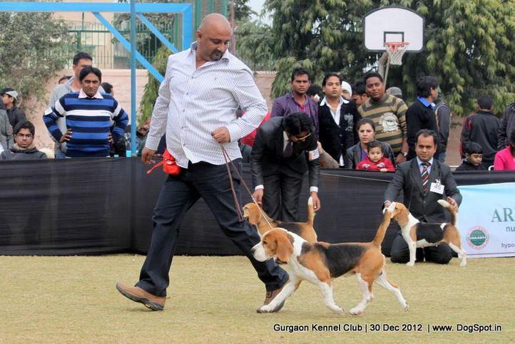 beagle,ex-50,sw-77,, Gurgaon Dog Show 2012, DogSpot.in