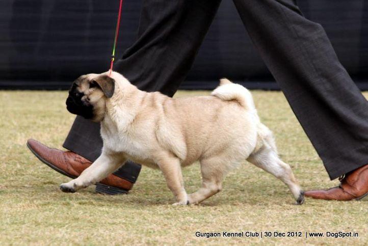 ex-26,pug,sw-77,, Gurgaon Dog Show 2012, DogSpot.in