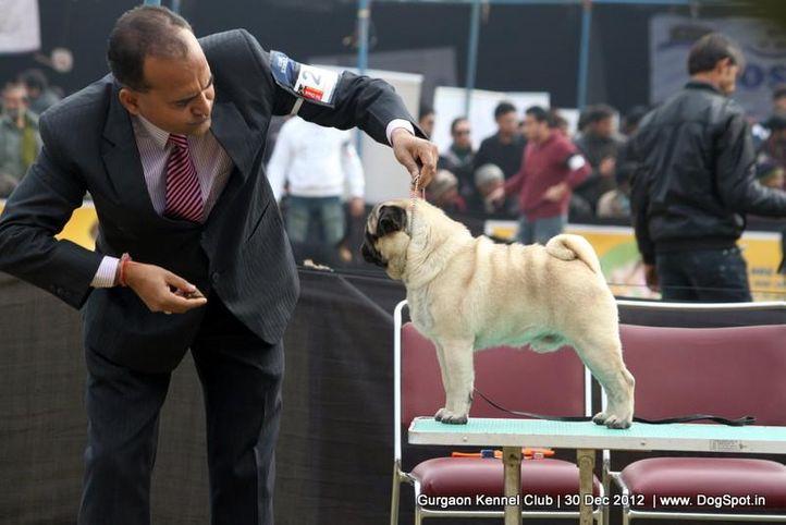 ex-24,pug,sw-77,, Gurgaon Dog Show 2012, DogSpot.in