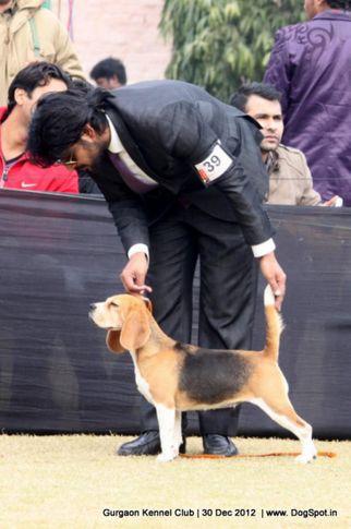 beagle,ex-39,sw-77,, Gurgaon Dog Show 2012, DogSpot.in