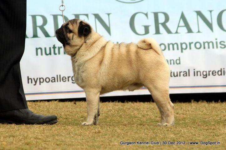 pug,sw-77,, Gurgaon Dog Show 2012, DogSpot.in