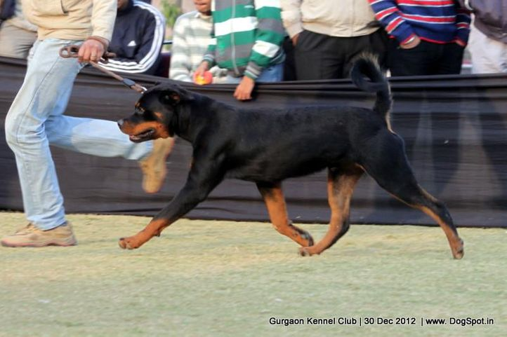 ex-196,rottweiler,sw-77,, Gurgaon Dog Show 2012, DogSpot.in