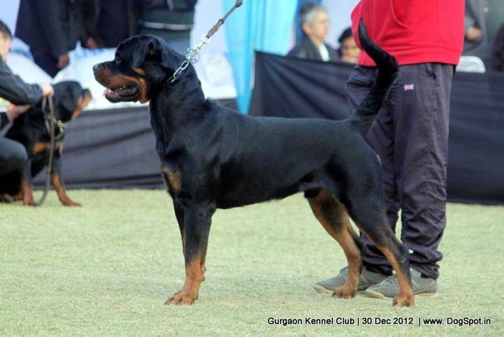 ex-201,rottweiler,sw-77,, Gurgaon Dog Show 2012, DogSpot.in