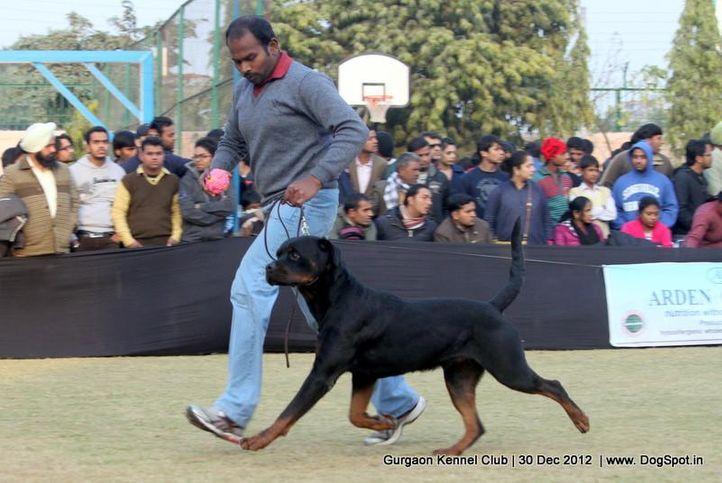 ex-195,rottweiler,sw-77,, Gurgaon Dog Show 2012, DogSpot.in
