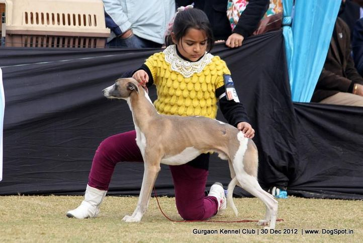 ex-56,sw-77,whippet,, Gurgaon Dog Show 2012, DogSpot.in