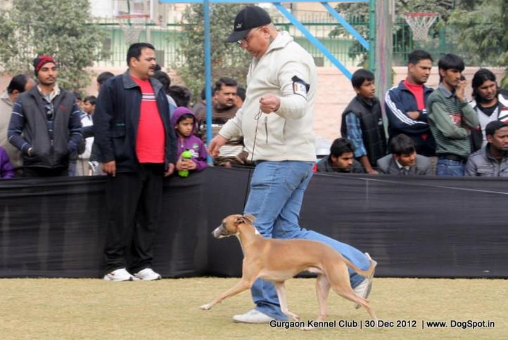 ex-58,sw-77,whippet,, Gurgaon Dog Show 2012, DogSpot.in