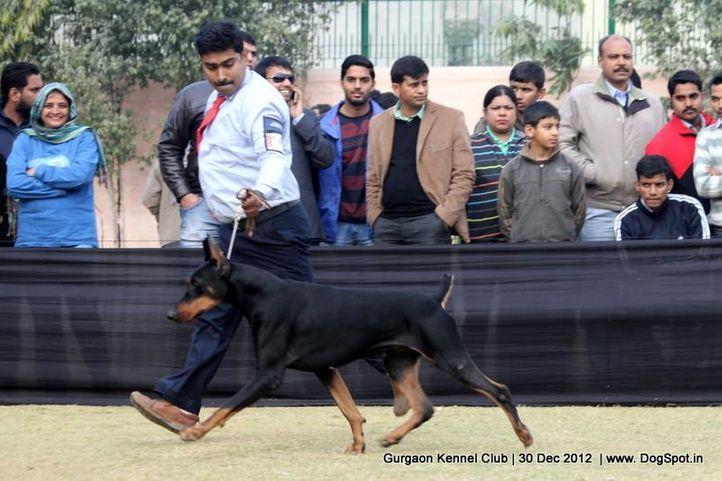 dobermann,ex-146,sw-77,, Gurgaon Dog Show 2012, DogSpot.in