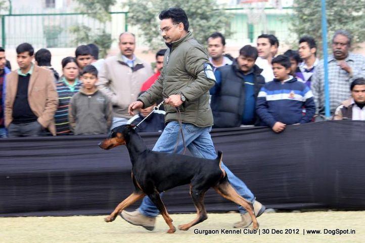 dobermann,ex-150,sw-77,, Gurgaon Dog Show 2012, DogSpot.in
