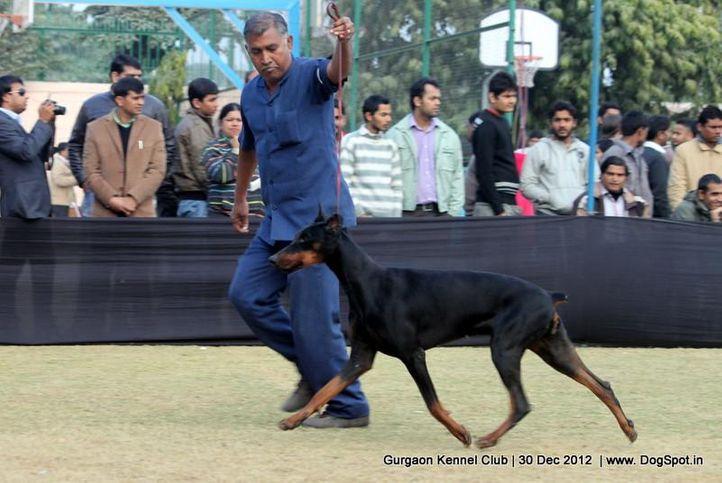 dobermann,ex-155,sw-77,, Gurgaon Dog Show 2012, DogSpot.in