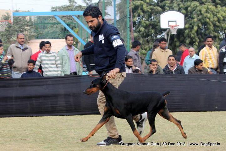 dobermann,ex-153,sw-77,, Gurgaon Dog Show 2012, DogSpot.in