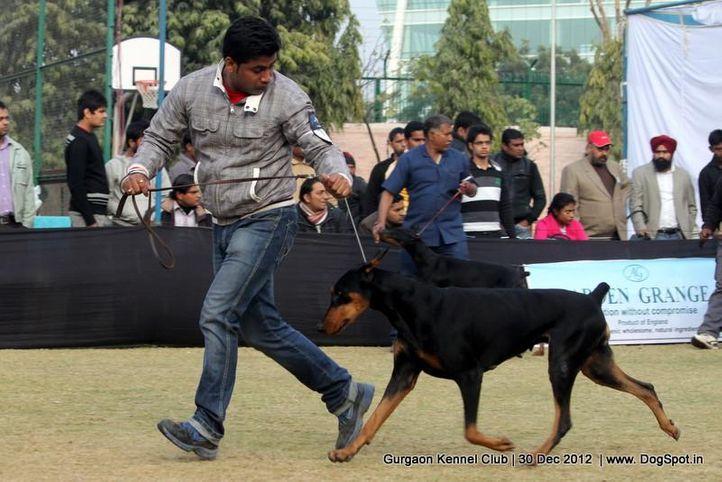 dobermann,ex-151,sw-77,, Gurgaon Dog Show 2012, DogSpot.in