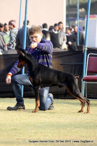 dobermann,sw-77,, Gurgaon Dog Show 2012, DogSpot.in
