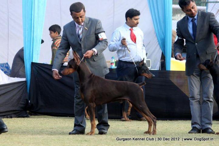 dobermann,ex-149,sw-77,, Gurgaon Dog Show 2012, DogSpot.in