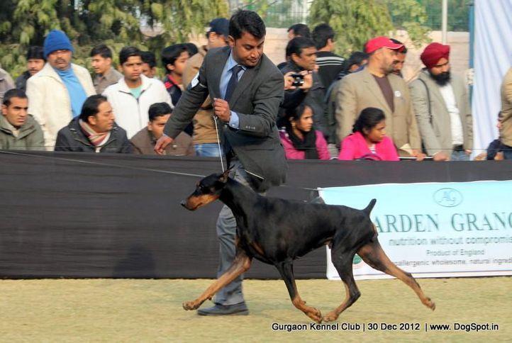 dobermann,ex-147,sw-77,, Gurgaon Dog Show 2012, DogSpot.in
