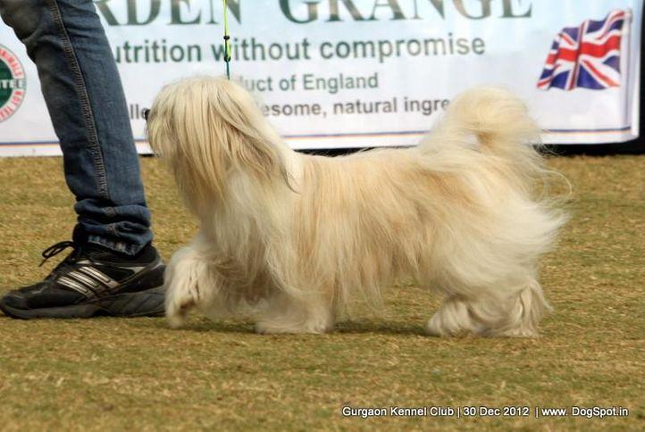 lhasa apso,sw-77,, Gurgaon Dog Show 2012, DogSpot.in