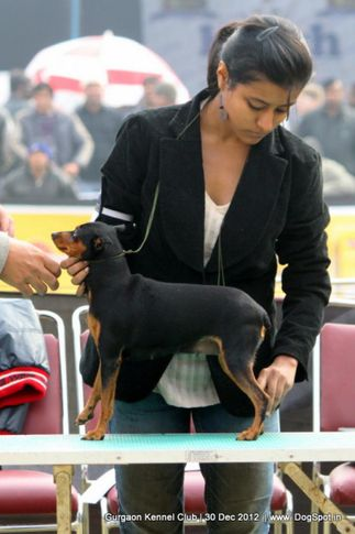 ex-2,miniature pinscher,sw-77,, Gurgaon Dog Show 2012, DogSpot.in