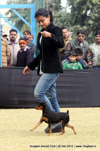 ex-2,miniature pinscher,sw-77,, Gurgaon Dog Show 2012, DogSpot.in