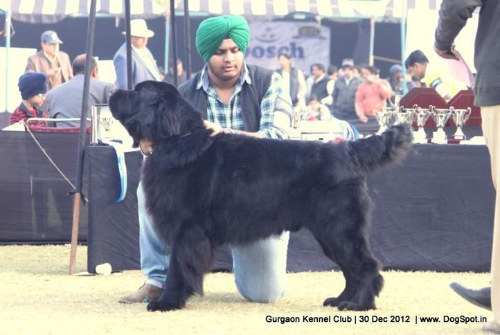 ex-184,new foundland,sw-77,, Gurgaon Dog Show 2012, DogSpot.in