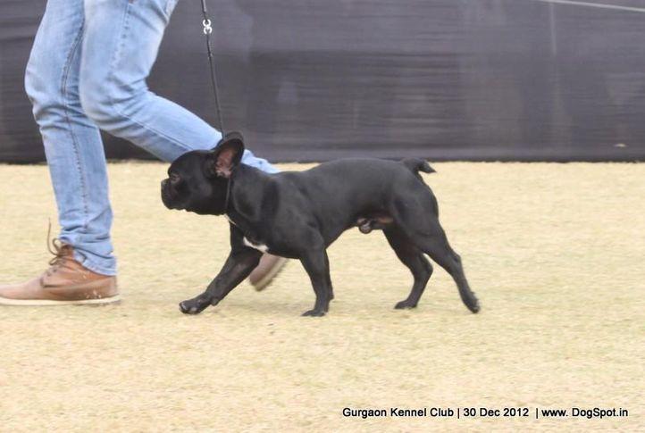 french bull dog,sw-77,, Gurgaon Dog Show 2012, DogSpot.in