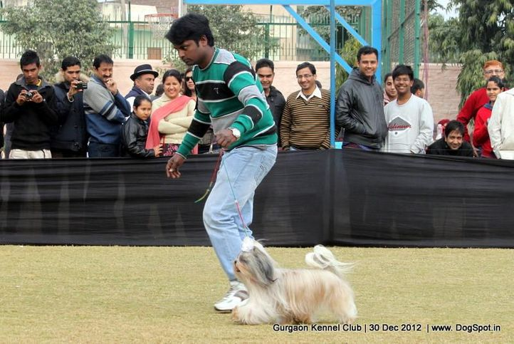 ex-15,shih tsu,sw-77,, Gurgaon Dog Show 2012, DogSpot.in