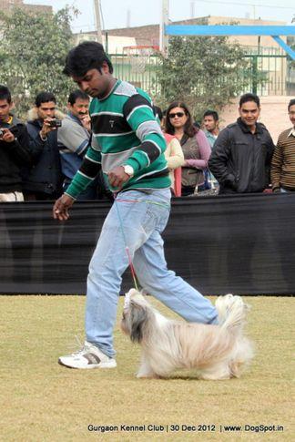 ex-15,shih tsu,sw-77,, Gurgaon Dog Show 2012, DogSpot.in