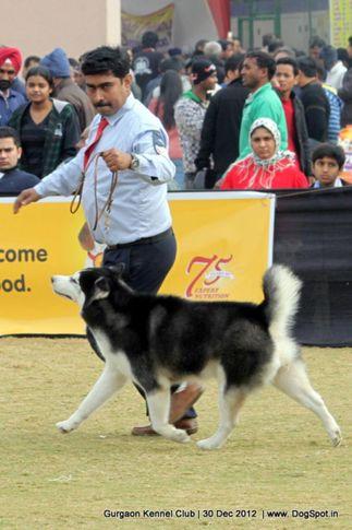 siberian husky,sw-77,, Gurgaon Dog Show 2012, DogSpot.in