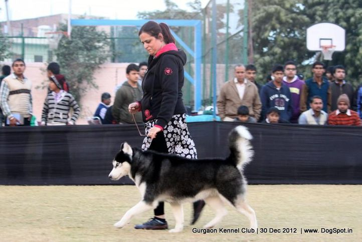 siberian husky,sw-77,, Gurgaon Dog Show 2012, DogSpot.in