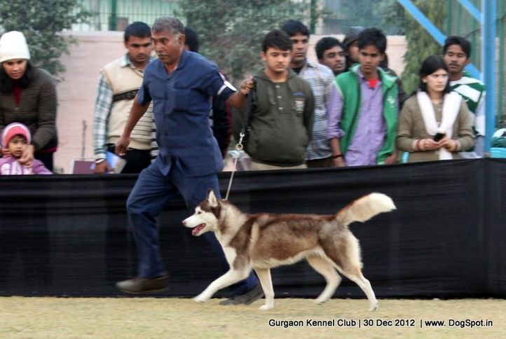 ex-234,siberian husky,sw-77,, Gurgaon Dog Show 2012, DogSpot.in