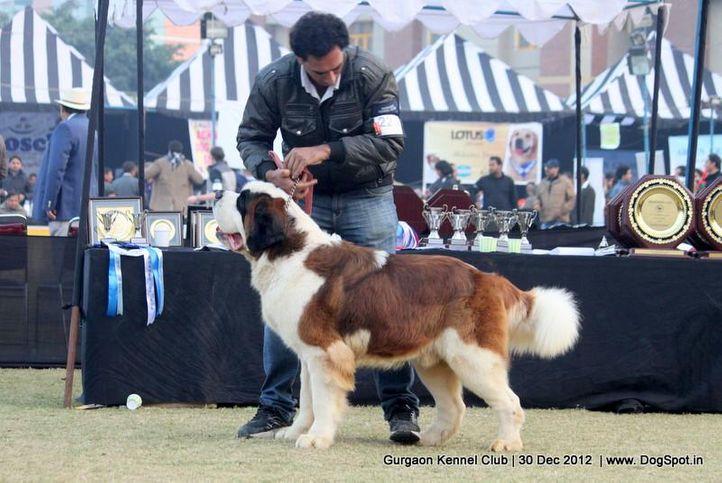 ex-223,stbernard,sw-77,, Gurgaon Dog Show 2012, DogSpot.in