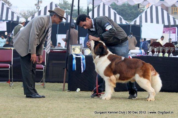 stbernard,sw-77,, Gurgaon Dog Show 2012, DogSpot.in