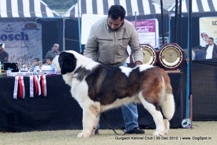 ex-224,stbernard,sw-77,, Gurgaon Dog Show 2012, DogSpot.in