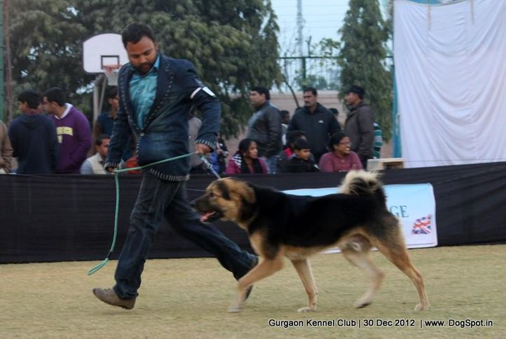 ex-238,sw-77,tibetan mastiff,, Gurgaon Dog Show 2012, DogSpot.in