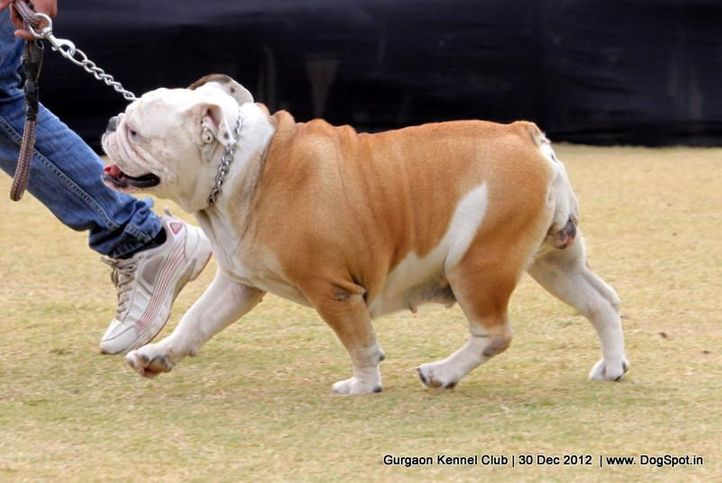 bull dog,ex-105,sw-77,, Gurgaon Dog Show 2012, DogSpot.in