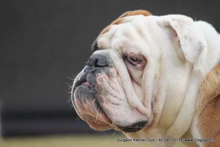 bull dog,ex-104,sw-77,, Gurgaon Dog Show 2012, DogSpot.in