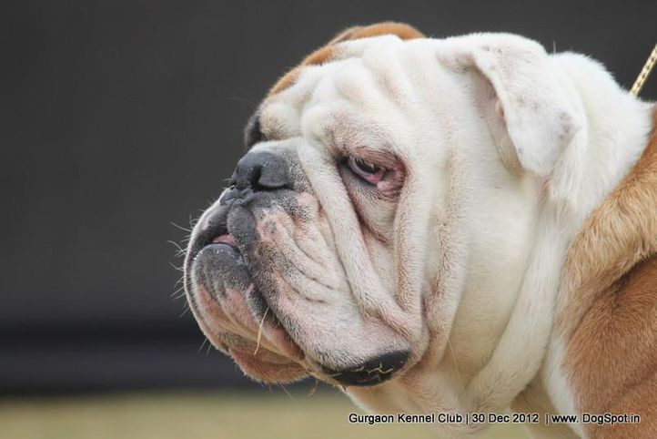 bull dog,ex-104,sw-77,, Gurgaon Dog Show 2012, DogSpot.in