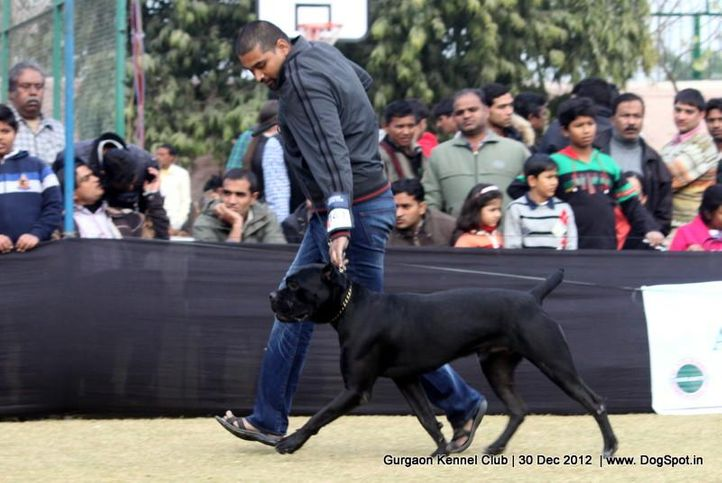 cane corso,ex-141,sw-77,, Gurgaon Dog Show 2012, DogSpot.in