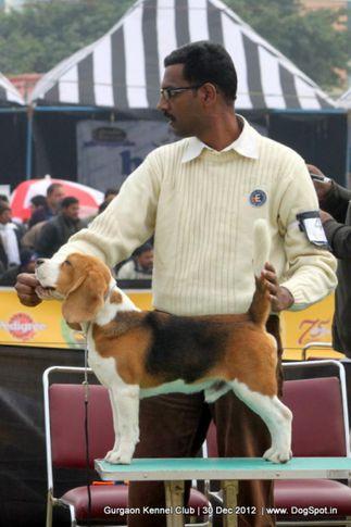 beagle,ex-46,sw-77,, Gurgaon Dog Show 2012, DogSpot.in