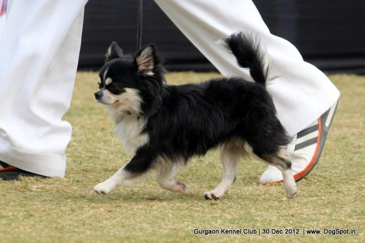chihuahua,ex-1,sw-77,, Gurgaon Dog Show 2012, DogSpot.in