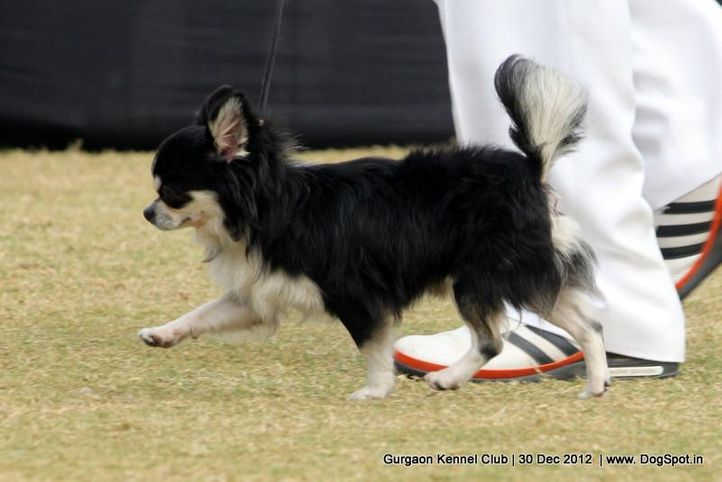 chihuahua,sw-77,, Gurgaon Dog Show 2012, DogSpot.in