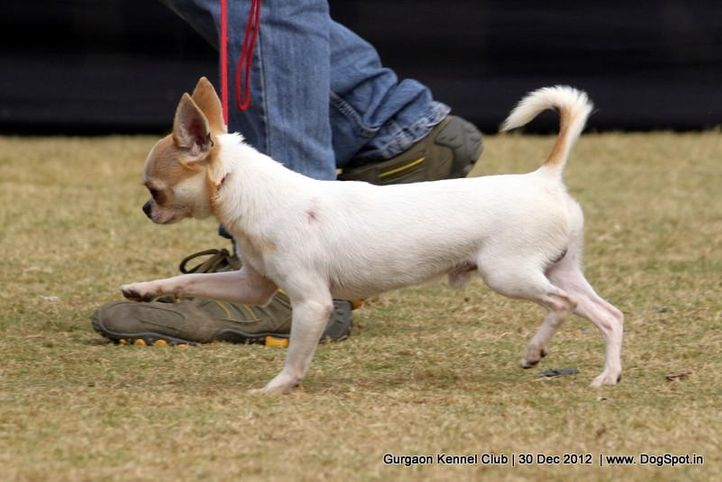 chihuahua,ex-2,sw-77,, Gurgaon Dog Show 2012, DogSpot.in