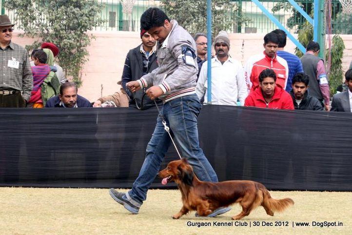 dachshund,sw-77,, Gurgaon Dog Show 2012, DogSpot.in