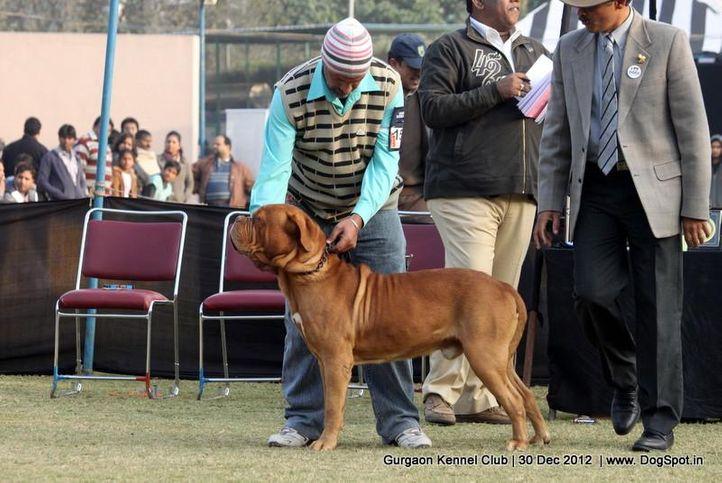 dogue de bordeaux,ex-156,sw-77,, Gurgaon Dog Show 2012, DogSpot.in