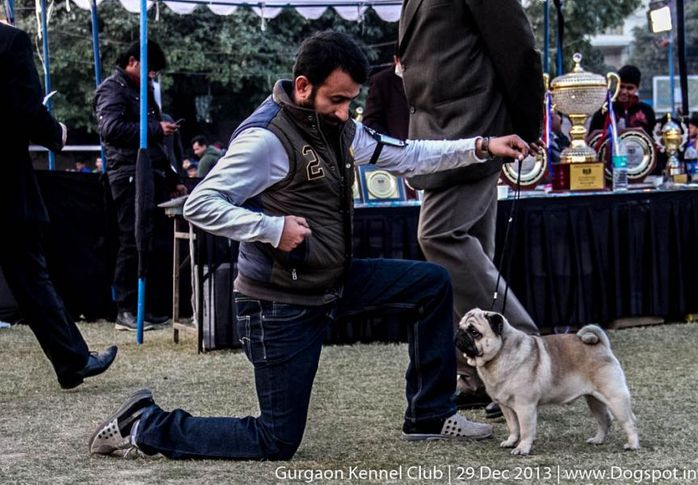 pug,sw-109,, Gurgaon Dog Show 2013, DogSpot.in