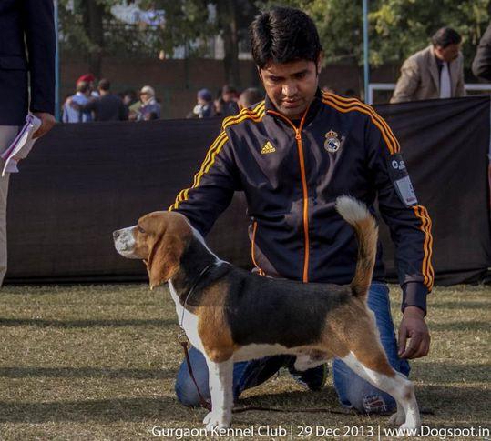 beagle,sw-109,, Gurgaon Dog Show 2013, DogSpot.in
